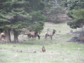Elk sighting (every day!)...