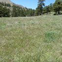 A field of cheatgrass. This early-growing invasive grass reduces resources  for native plants.