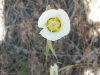 Sego lily (Calochortus gunnisonii)  photo credit: Anastasia Maines