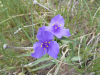 Spiderwort (Tradescantia occidentalis)