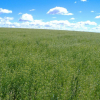 Fields of gold: Can camelina be a biofuel that high country farmers could grow and use themselves?