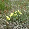 Puccoon (Lithospermum incisum)