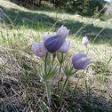 Pasqueflower (Pulsatilla ludoviciana)
